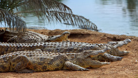 Primer de los cocodrilos del pantano en el área de la reserva de naturaleza Fotos de archivo libres de regalías