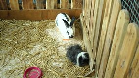 Primer de los conejos mullidos blancos que comen en una jaula Conejitos mullidos lindos almacen de video