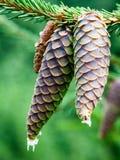 primer de los conos hermosos del pino con el fondo de la falta de definición Fotografía de archivo libre de regalías