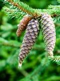 primer de los conos hermosos del pino con el fondo de la falta de definición Fotos de archivo