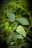 Primer de los descensos de rocío de la lluvia en las hojas verdes imágenes de archivo libres de regalías