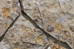 Primer de los fósiles foto de archivo libre de regalías