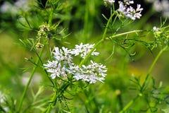 Primer de los flores del cilantro en el jardín Fotos de archivo libres de regalías
