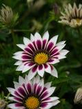 Primer de los flowerts blancos y púrpuras del gazania foto de archivo
