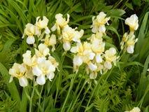 Primer de los iris amarillos Imagen de archivo