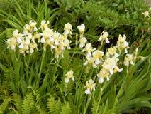 Primer de los iris amarillos Fotografía de archivo