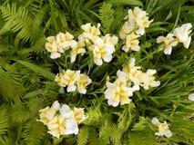 Primer de los iris amarillos Foto de archivo libre de regalías