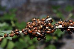 Primer de los Ladybugs   Foto de archivo libre de regalías