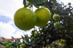 Primer de los limones frescos orgánicos que cuelgan en árbol foto de archivo