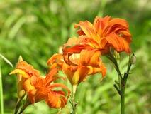 Primer de los lirios de día anaranjados en un día brillante imagen de archivo libre de regalías