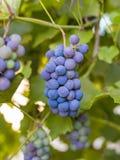 Primer de los manojos de uvas de vino rojo maduras en la vid, cosecha foto de archivo