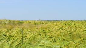 Primer de los oídos del trigo en el sol Trigo no maduro en el campo metrajes