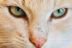 Primer de los ojos de gato Foto de archivo libre de regalías