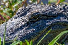 Primer de los ojos y de la cabeza salvajes grandes del cocodrilo Fotos de archivo