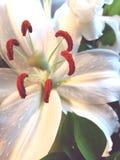 Primer de los pétalos apacibles de la flor del lirio blanco Fotografía de archivo