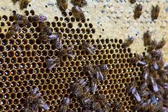 Primer de los panales llenados de la miel orgánica Macro Texture Imágenes de archivo libres de regalías
