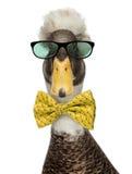 Primer de los patos con cresta masculinos que llevan vidrios y una corbata de lazo fotos de archivo