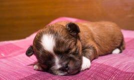 Primer de los pequeños perritos de la chihuahua que duermen en una alfombra rosada Imagen de archivo libre de regalías