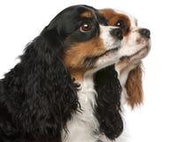 Primer de los perros de aguas de rey Charles arrogantes Foto de archivo