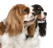 Primer de los perros de aguas de rey Charles arrogantes Imagenes de archivo