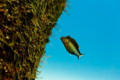 Primer de los pescados agudos del Caribe del fumador de la nariz, rostrata del canthigaster, nadando en el arrecife de coral Fotos de archivo libres de regalías