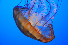Primer de los pescados de jalea Foto de archivo libre de regalías