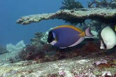 primer de los pescados del cirujano de la Azul-espiga foto de archivo