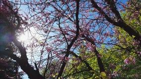 Primer de los racimos de flor rosados de un árbol del este de Redbud en la plena floración Árbol de Judas o siliquastrum del Cerc almacen de metraje de vídeo