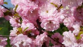 Primer de los racimos de flor rosados de un ciruelo floreciente o de una almendra floreciente en la plena floración en primavera almacen de metraje de vídeo