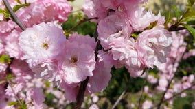 Primer de los racimos de flor rosados de un ciruelo floreciente o de una almendra floreciente en la plena floración en primavera  metrajes