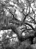 Primer de los robles vivos en blanco y negro foto de archivo