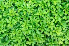Primer de los terminalis del pachysandra - fondo verde de la naturaleza, te Imágenes de archivo libres de regalías