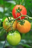 Primer de los tomates Imagen de archivo libre de regalías