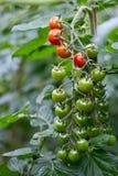 Primer de los tomates de cereza crecientes Imagenes de archivo