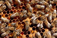 Primer de los trabajadores de la abeja de la miel Imagen de archivo libre de regalías