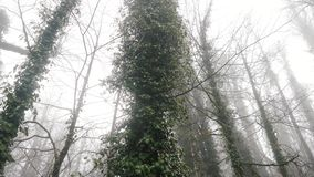 Primer de los troncos de árbol cubiertos por las lianas en cantidad de niebla de la acción del bosque Autumn Landscape almacen de metraje de vídeo