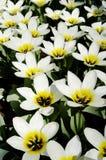 Primer de los tulipanes blancos y amarillos Fotos de archivo libres de regalías