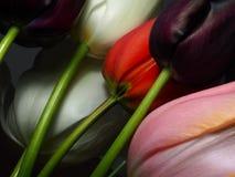Primer de los tulipanes oscuro Imagen de archivo libre de regalías