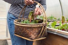 Primer de los verdes de la ensalada de la cosecha de la mujer en Sunny Greenhouse Fotografía de archivo