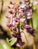 Primer de los wildflowers rosados de la primavera La abeja recoge el néctar Fotos de archivo libres de regalías