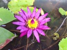 Primer de Lotus Fotografía de archivo