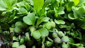 Primer de Microgreens de la mostaza fotos de archivo