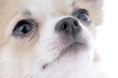 primer de mirada agradable del retrato de la chihuahua Imágenes de archivo libres de regalías