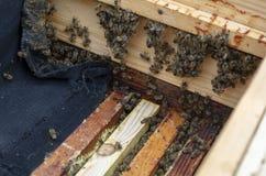 Primer de muchas abejas en la foto El apicultor est? trabajando fotos de archivo libres de regalías