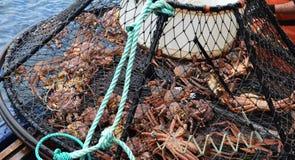 Primer de Opilio Crab Caught en jaula Imágenes de archivo libres de regalías
