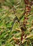 primer De oro-anillado de la libélula Fotos de archivo libres de regalías