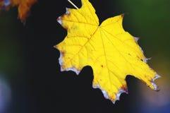 Primer de oro de las hojas de arce en el fondo oscuro con resplandores coloridos en la tarde Foco suave selectivo, bokeh fotografía de archivo libre de regalías
