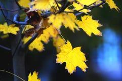 Primer de oro de las hojas de arce en el fondo oscuro con resplandores coloridos en la tarde Foco suave selectivo, bokeh foto de archivo