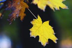 Primer de oro de las hojas de arce en el fondo oscuro con resplandores coloridos en la tarde Foco suave selectivo, bokeh foto de archivo libre de regalías