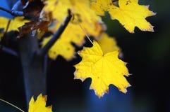Primer de oro de las hojas de arce en el fondo oscuro con resplandores coloridos en la tarde Foco suave selectivo, bokeh fotos de archivo libres de regalías